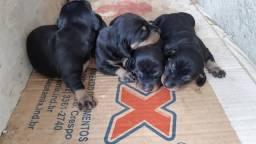 Filhotes de basset dachshund disponíveis