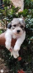 Título do anúncio: Vendo poodle toy