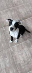 Título do anúncio: Vendo filhote de pitbull