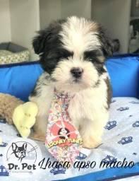 Título do anúncio: filhote de lhasa apso machinho lindo