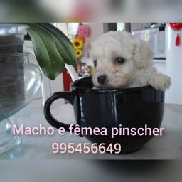Título do anúncio: Verdadeiros filhotes de micro poodle