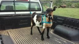 Mini bode mini cabra