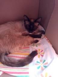 Adoção gato siamês