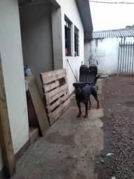 Rottweiler alemão,puro um ano