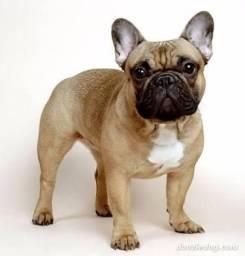 Bulldog Frances (Compra)