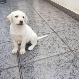 Labrador retriever | Última Unidade | Com Pedigree