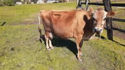 Vaca e terneiro