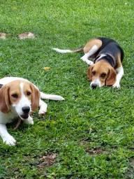Casal de Beagles