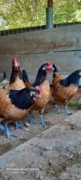 Ovos de galinhas de raça férteis envio