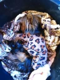 Filhotes de York Terrier