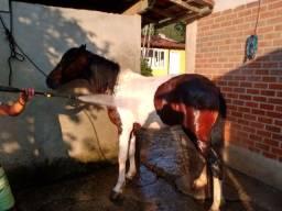 Cavalo Excelente de marcha picada, média de 7 para 8 anos