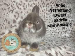 Netherland Dwarf linhagem importada show