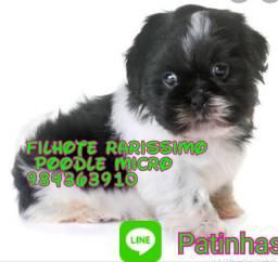 Poodle micro  condicoes especiais