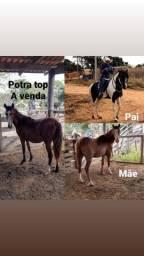Mangalarga Paulista