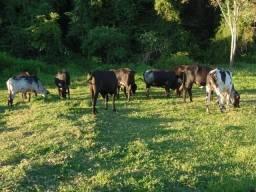 12 novilhas girolandas para leite - oportunidade nesse precinho