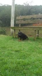 Rottweiler- Natal