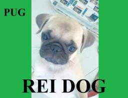 Pug 'REI DOG' com PEDIGREE - Excelente padrão!