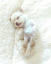 Chihuahua machinhos pelo longo
