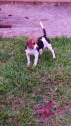 Vende-se Beagle