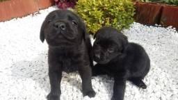 Filhotes de Labrador machos, 45 dias