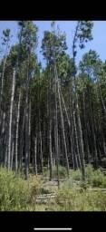 Vendo Fazenda de Pinus Bom Jardim da Serra - permuta