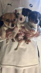 Jack Russel terrier 2 fêmeas
