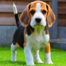 Belissimos filhotes de Beagle com garantia de saúde.