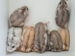 Vendem-se filhotes de hamister 20 reais Patos PB
