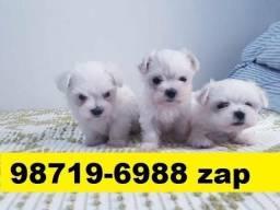 Canil Excelência Filhotes Cães BH Maltês Basset Fox Yorkshire Poodle Shihtzu