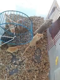 Esquilos da Mongólia ou gerbil