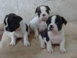 Últimos filhotes de Bulldog Francês
