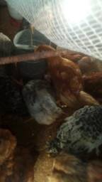Frangos,galos,galinhas,patos