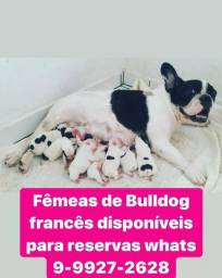 Filhotes a Venda Pug, Bulldog Frances, Bulldog Ingles, Red Reeler e gatos Persas