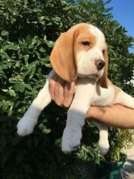 Lindos Filhotes de Beagle tricolor com Pedigree !