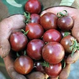 Mudas de tomate Pérola Negra