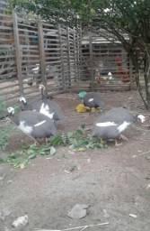 Picotes troco por outras aves