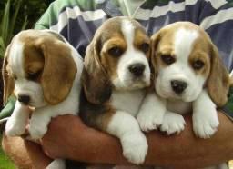 Filhotes de mini beagle com pedigree
