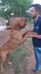 Cachorro fila brasileiro pra cruza!