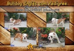 Bulldog inglês fêmeas com pedigree e excelente qualidade!