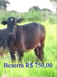 Bezerro / Bezerra / Ivinhema