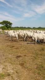 Vacas parida e prenha