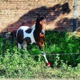 Vendo Cavalo de vaqueijada