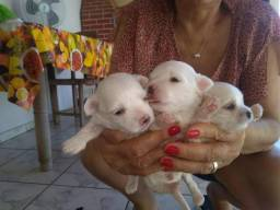 Filhotes de Maltês Mini
