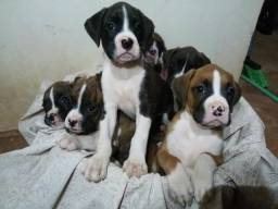 Filhotes Boxer