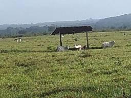 Fazenda no Pará,135 alqueires com 110 alqueires de pasto linda, por 6 milhões