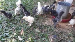 Pintos de galinha da raça Brahma