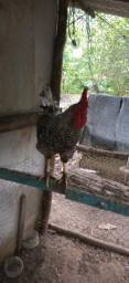 4 galinhas e 1 galo mais 18 franguinhos