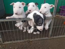 Bull Terrier Inglês - Lindos Filhotes Com Suporte Veterinário Gratuito A Pronta entrega