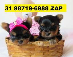 Canil Filhotes Cães Premium BH Yorkshire Maltês Beagle Basset Poodle Lhasa