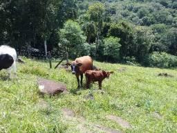 Vende se vaca e a terneirinha